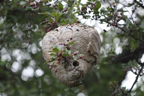 What Of Bees Make Paper Nests - wasps extermination and pest pest of