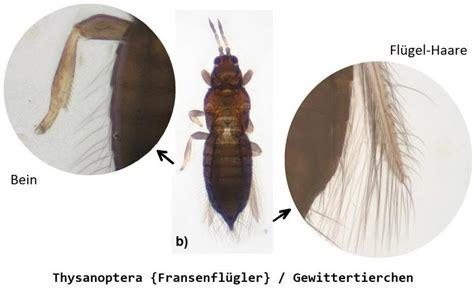 Mikroskop Mit Kamera 2686 by Zoologie Thysanoptera Fransenfl 252 Gler Gewittertierchen