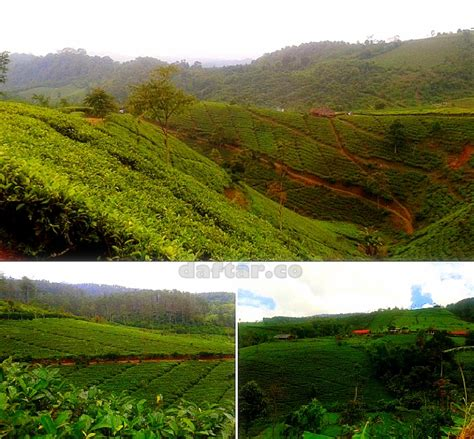 Teh Desa Jawa kebun teh cipasung lemahsugih daftar co