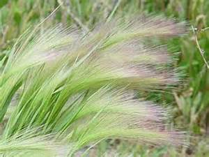 foxtail barley pictures