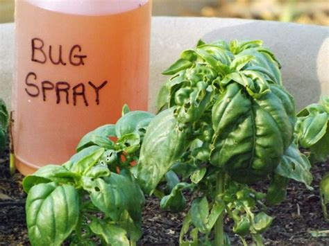 best 25 insect repellent plants ideas on bug
