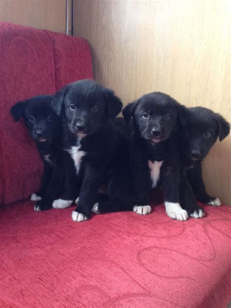 border collie mix puppies for sale border collie cross labrador puppies for sale lancashire pets4homes