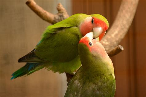 8 lovely and unusual facts about lovebirds project