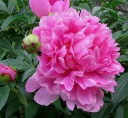 pink peonies pretty pink peonies so many books