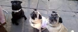 pugs pub pugs co uk information guide for pug pug rescue