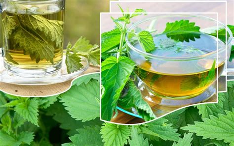 Nettle Tea For Detox by Nettle Tea Excellent Remedy For Blood Cleansing