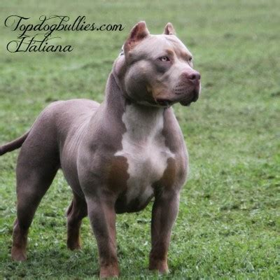 merle pitbull puppies for sale 2017 best pitbulls american bully breeder kennel tri puppies for sale