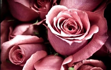 wallpaper for desktop roses roses wallpapers for desktop wallpaper cave