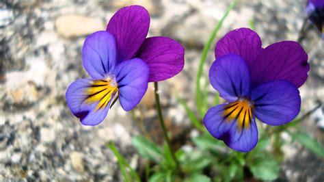 foto di fiori viole viole di montagna foto immagini macro e up macro