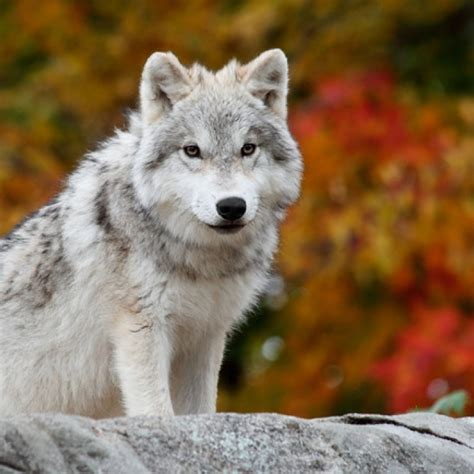 arctic wolf puppies for sale arctic wolf puppies for sale purebred arctic wolf puppies