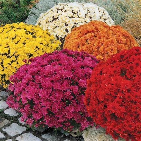 crisantemi in vaso il crisantemo fiori in giardino caratteristiche