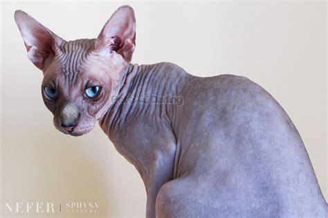 imagenes egipcias de gatos gato egipcio gato sphynx petdarling com