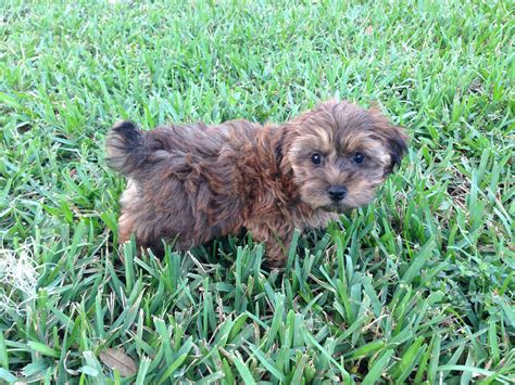yorkie poo rescue florida yorkie mix maltese shih tzu 9 weeks breeds picture