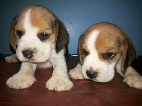 beagle puppies for sale in missouri beagle puppies for sale picture and images