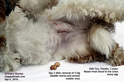 shih tzu bladder stones 20090820hamster tumours pet clinic care surgery singapore toa payoh veterinary vets