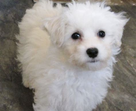 maltese shih tzu x poodle pin maltese cross shih tzu on