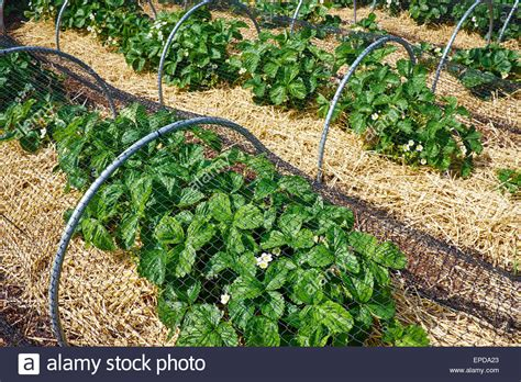 Marvelous Bird Netting For Gardens #6: Strawberry-plants-growing-under-netting-to-protect-the-fruit-from-EPDA23.jpg