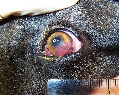 pannus in dogs fail pannus german shepherd jpg vikipeedia vaba ents 252 klopeedia