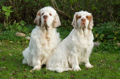 clumber spaniel puppies clumber spaniel dodogs