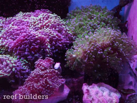 marineland floating leds can make for great looking corals