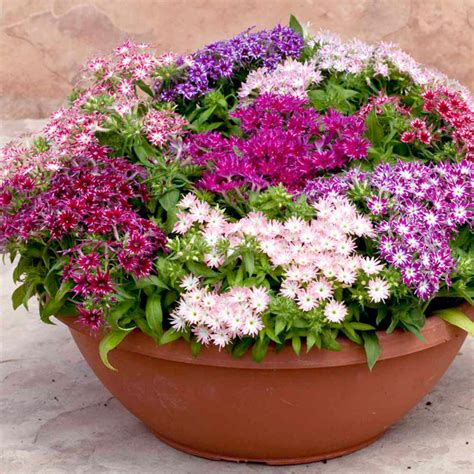 How To Garden Flowers Phlox Plants Popstars All Flower Plants Flower Plants Flowers Garden Dobies