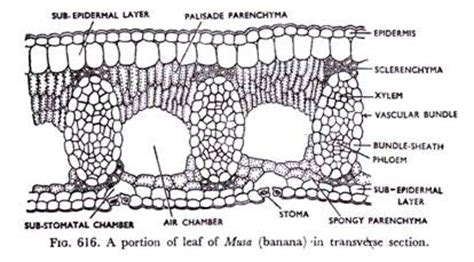 transverse section of a leaf diagram internal structure of leaf with diagram