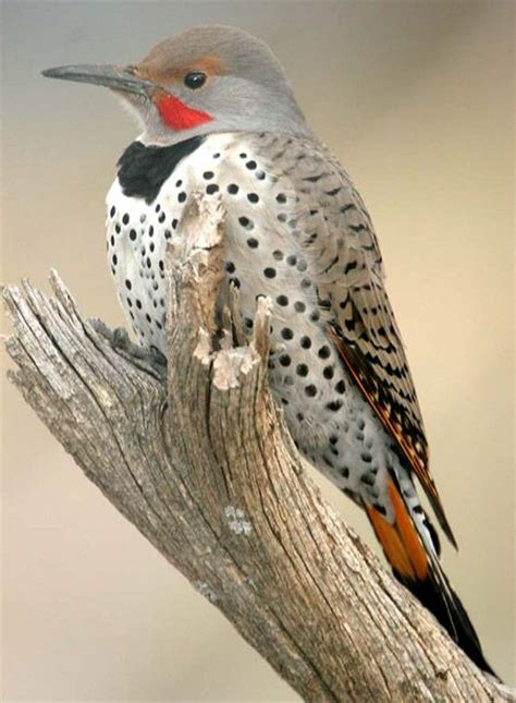 296 best images about woodpeckers on pinterest minnesota