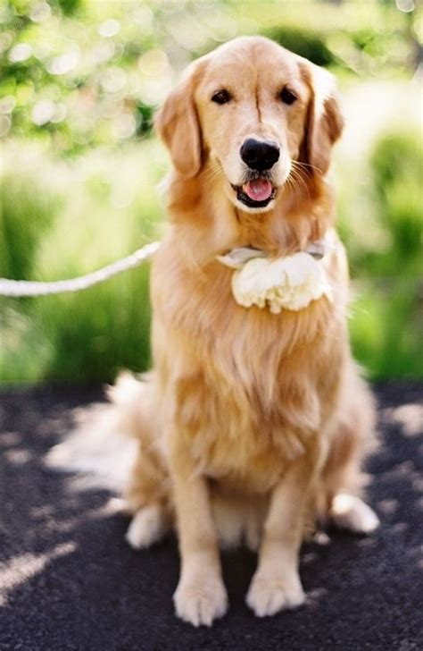 golden retriever collars the world s catalog of ideas