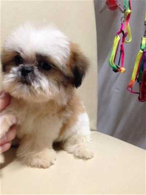 teacup shih tzu rescue miniature shih tzu for adoption breeds picture