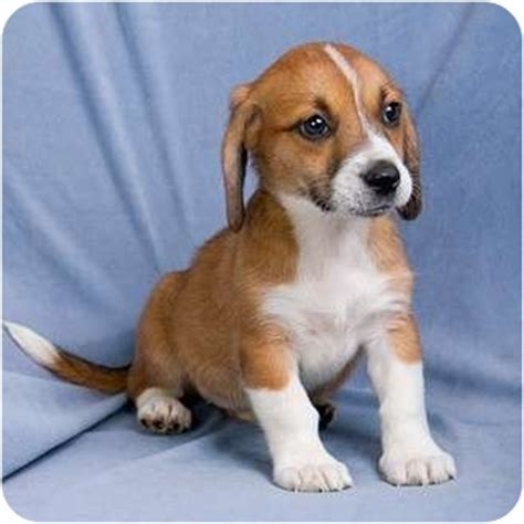 basset hound puppies illinois brandi adopted puppy il beagle basset hound mix