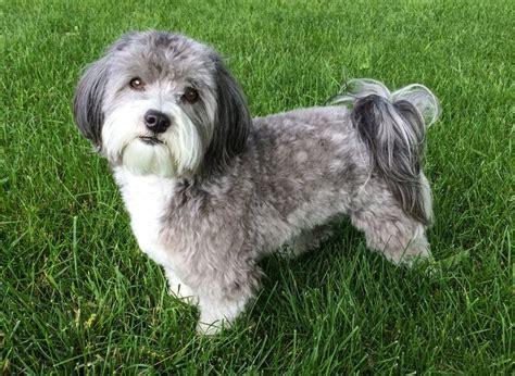 akc rules for giving a havanese a hair cut 17 best all things havanese haircut images on pinterest