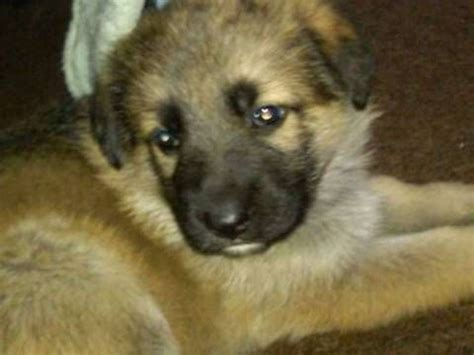 german shepherd puppies adoption florida german shepherd puppies for sale adoption from pompano florida broward adpost