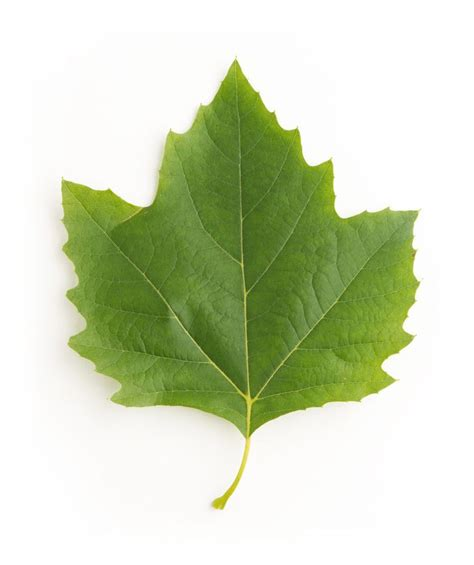 maple tree leaf arrangement id maple sycamore yellow poplar and sweetgum leaves