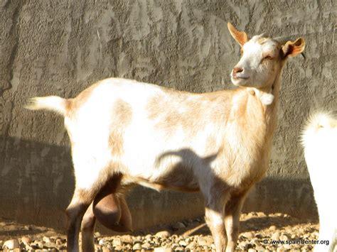 de cabras cabras muy ricas y buenas taringa