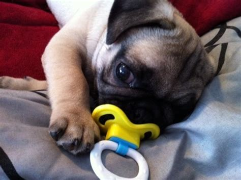 how much is a baby pug baby pug many