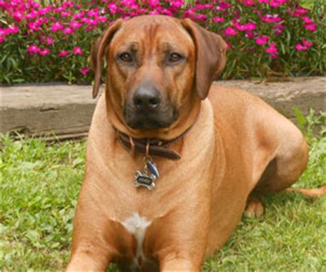 rhodesian ridgeback puppies for sale california rhodesian ridgeback puppies rhodesian ridgeback puppies rhodesian ridgeback puppy