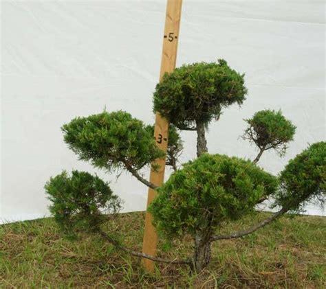 topiary shrub 187 topiary trees plants beautiful nursery
