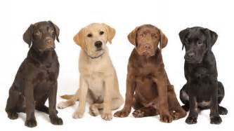 5 practical tips when dealing with a labrador retriever