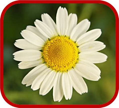 fiore della camomilla mi descrivete il fiore della camomilla yahoo answers