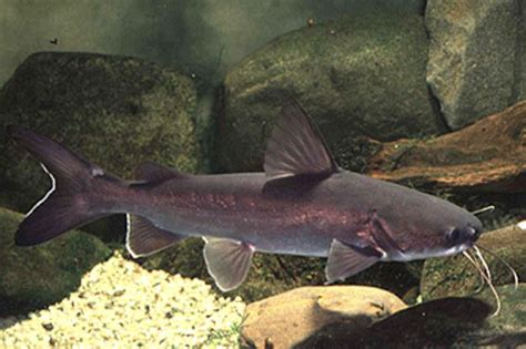 Catfish Search Catfish Classification Images Search