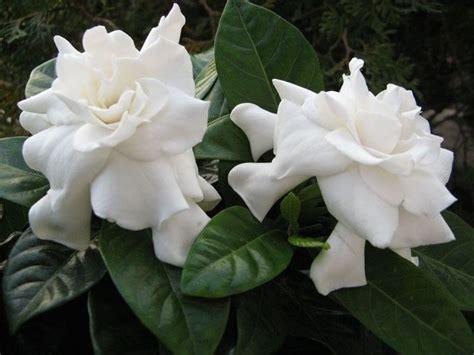 fiori di gardenia la gardenia piante appartamento la gardenia pianta