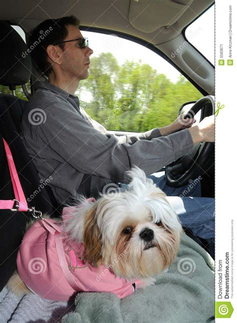 harness for shih tzu shih tzu puppy in a safety harness stock image image 5583671