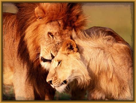 imagenes de leones tristes imagenes de parejas de leones archivos imagenes de leones