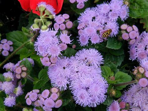 images flowers flower pictures page ageratum