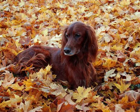 irish setter dog 7 hd irish setter dog wallpapers hdwallsource com