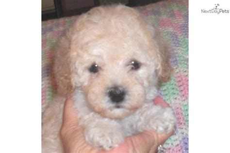 cockapoo puppies for sale in ky louisville rental backpage