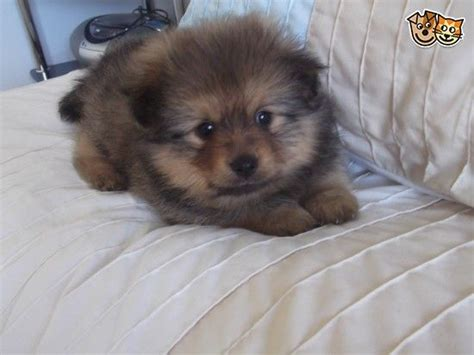 teacup pomeranian for sale illinois 17 best ideas about pomeranian puppies for sale on teacup pomeranian puppy