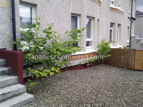 would you buy a house with japanese knotweed would you buy a house with japanese knotweed 28 images inspecting invaders