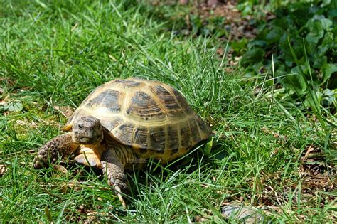 russian tortoises keeping russian tortoises outside in the pacific northwest