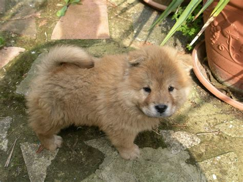chow puppy for sale pet advert no longer exists pets4homes